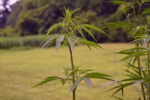 bebe cannabis plant