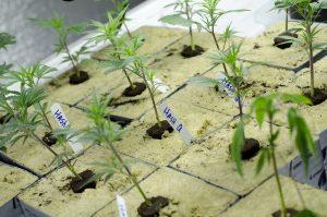 faire pousser cannabis