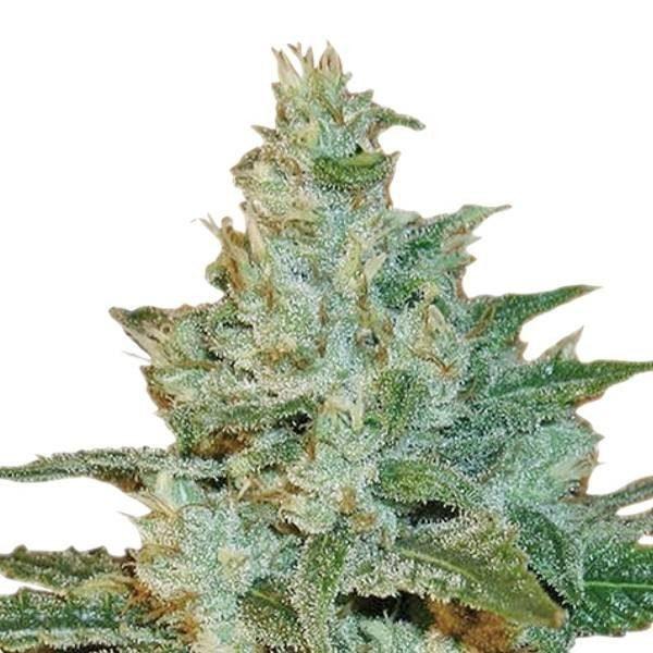 ak47-cannabis-semences