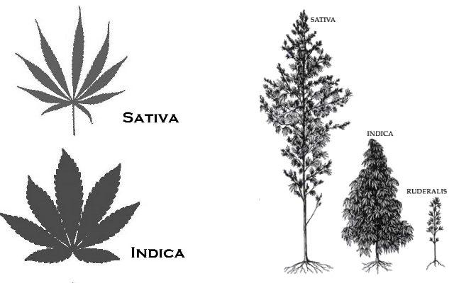 indica vs sativa vs hybride