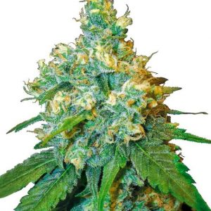 jack herer semences cannabis