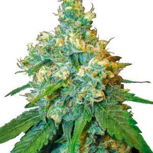 jack herer semences cannabis