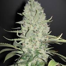 white widow cannabis graines