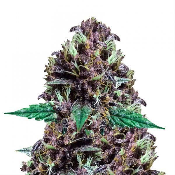 cbd purple kush graines